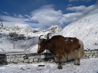 Yak am Mount Everest