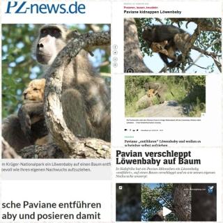 Affen entführen Löwenbaby